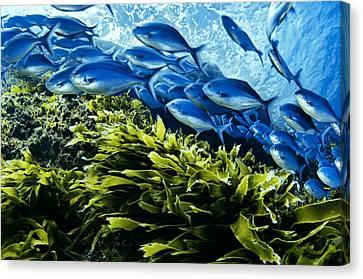 A School Of Blue Maomao Swim Canvas Print by Brian J. Skerry