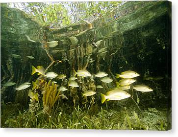 A School Of Snappers Shelters Among Canvas Print by Tim Laman