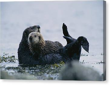 A Sea Otter Cradling Her Pup In A Kelp Canvas Print by Joel Sartore