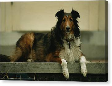 A Sheltie On The Back Step Of A Home Canvas Print by Joel Sartore