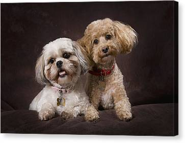 A Shihtzu And A Poodle On A Brown Canvas Print by Corey Hochachka