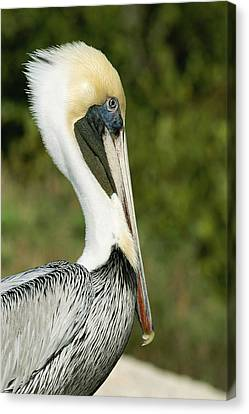A Side View Of A Pelican Canvas Print by Norbert Rosing