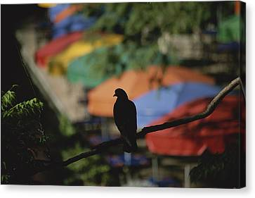 A Silhouetted Pigeon Surveys Canvas Print by Stephen St. John
