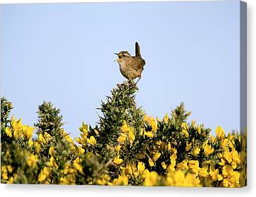 A Singing Wren Canvas Print by Duncan Shaw
