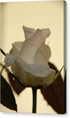 A Single White Rose Canvas Print