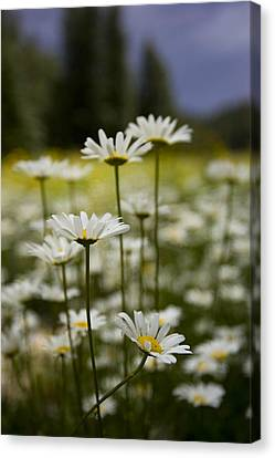 A Small Group Of Daisies Stands Canvas Print by Ralph Lee Hopkins
