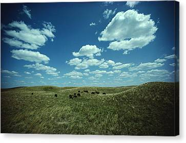 A Small Herd Of Bison Bison Bison Graze Canvas Print by James P. Blair