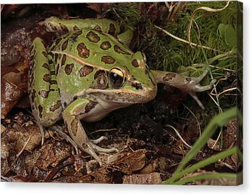 A Southern Leopard Frog Pauses In Leaf Canvas Print by George Grall
