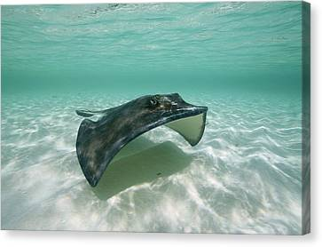 A Southern Stingray Of Grand Turk Canvas Print by Wolcott Henry