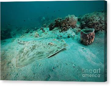 A Southern Stingray On The Sandy Bottom Canvas Print by Michael Wood