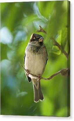 A Sparrow Perched On A Small Branch Canvas Print by Ben Welsh