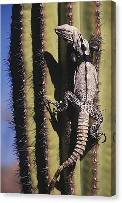 A Spiny-tailed Iguana Climbing A Cardon Canvas Print by Ralph Lee Hopkins