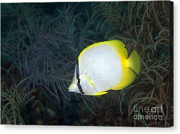 Sea Fern Canvas Print - A Spotfin Butterflyfish by Terry Moore