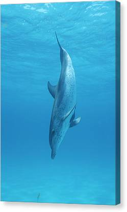 A Spotted Dolphin Does A Nose Dive Canvas Print by Wolcott Henry