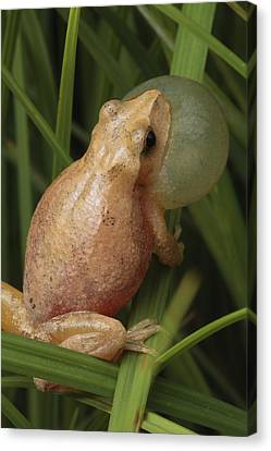 A Spring Peeper Calls For A Mate Canvas Print by George Grall