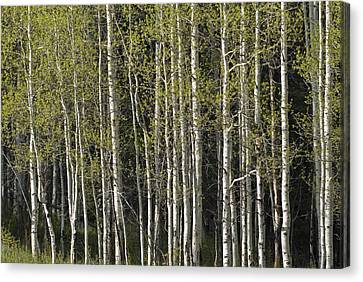 A Stand Of Aspen Trees At Wolf Creek Canvas Print by Rich Reid