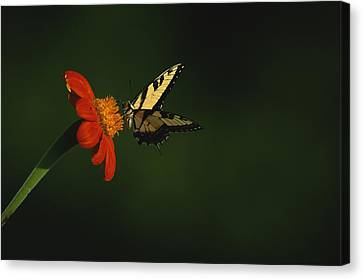 A Swallowtail Butterfly Canvas Print by Taylor S. Kennedy