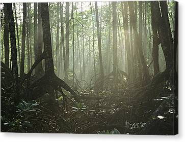 A Tangle Of Buttressed Roots In A Misty Canvas Print by Tim Laman