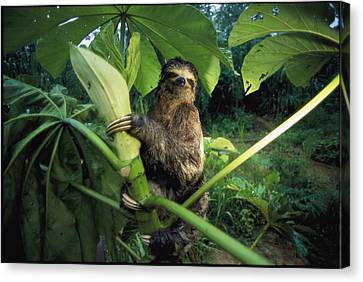 A Three-toed Sloth Feeds On The Leaves Canvas Print