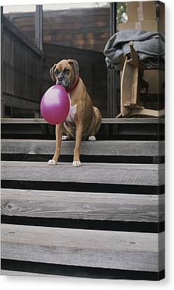A Tough Looking Boxer Delicately Holds Canvas Print by Marc Moritsch