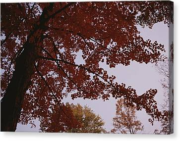 A Tree Displays Bright Red Autumn Canvas Print by Stephen Alvarez