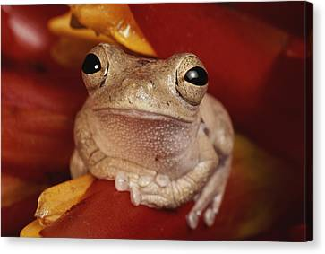 A Tree Frog Shelters In A Bromeliad Canvas Print by George Grall