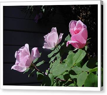 Canvas Print featuring the photograph A Trio Of Beauty by Frank Wickham