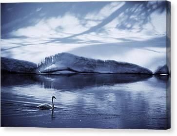 A Trumpeter Swan, Cygnus Buccinator Canvas Print