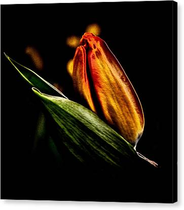 A Tulip With Sheen Canvas Print by David Patterson