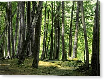 A Walk In The Forest Canvas Print by Mike Flynn