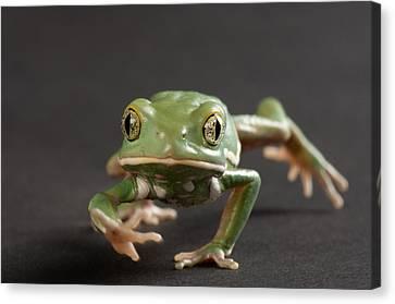 A Waxy Monkey Frog Phyllomedusa Canvas Print by Joel Sartore