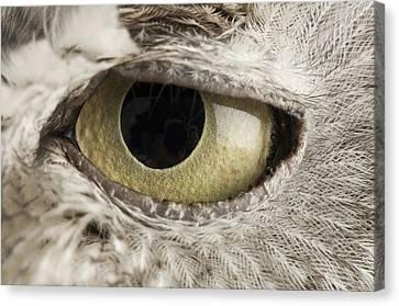 A Western Screech Owl Otus Kennicottii Canvas Print by Joel Sartore