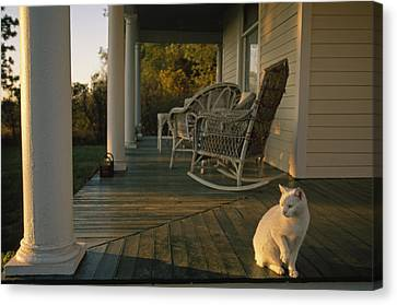 A White Cat In Sunlight On A Columned Canvas Print by Joel Sartore