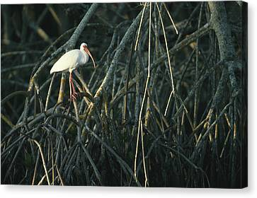 A White Ibis Perches On A Mangrove Tree Canvas Print by Klaus Nigge