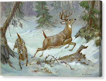 A White Tail Buck And Doe Flee Canvas Print by Walter A. Weber