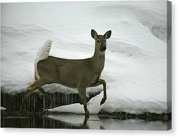 A White-tailed Deer Paces The Edge Canvas Print by Michael S. Quinton