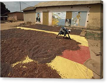 A Woman Spreads Brown Cacao Beans Canvas Print by James L. Stanfield