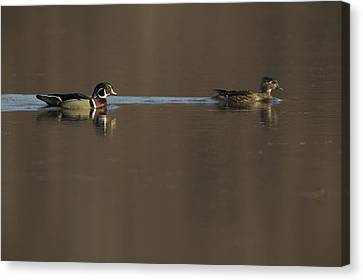 A Wood Duck Aix Sponsa Pair Canvas Print by Tim Laman