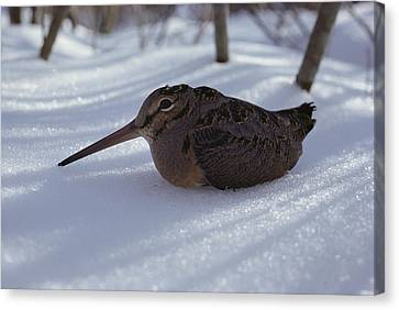 A Woodcock Sits In The Snow Canvas Print by Bill Curtsinger