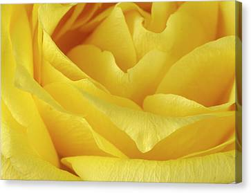 A Yellow Rose Rosaceae Canvas Print by Joel Sartore