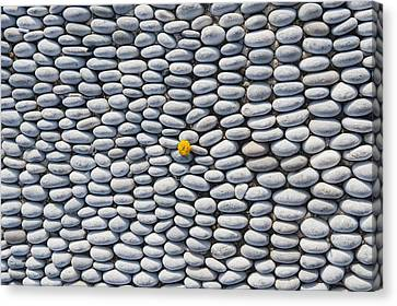 A Yellow Wildflower Growing Amongst An Arrangement Of Smooth Stones Canvas Print by Mark Gerum