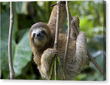 A Young Brown-throated Three-toed Sloth Canvas Print by Roy Toft