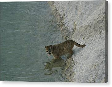 A Young Mountain Lion Prepares To Take Canvas Print by Norbert Rosing