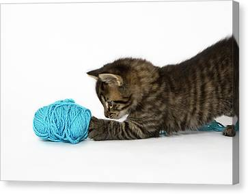 A Young Tabby Kitten Playing With Wool. Canvas Print by Nicola Tree
