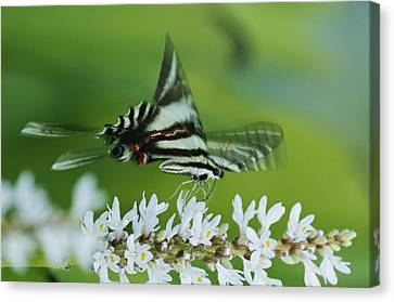 A Zebra Swallowtail Butterfly Sips Canvas Print by George Grall