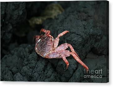 Aama - Thin Shelled Rock Crab - Grapsus Tenuicrustatus Canvas Print by Sharon Mau