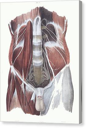 Abdominal Spinal Nerves Canvas Print by Sheila Terry