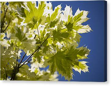 Acer Platanoides 'drummondii' Canvas Print by Dr Keith Wheeler