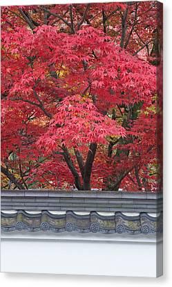Acer Trees Acer Palmatum. Autumn Color Canvas Print