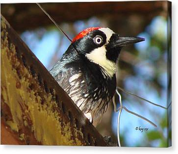 Canvas Print featuring the photograph Acorn Woodpecker by Linda Cox